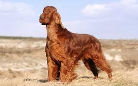 belgian shepherd for sale ireland irish setter puppies breed information u0026 puppies for sale