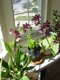 basics of growing orchids orchid flowers