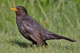 common blackbird wikipedia