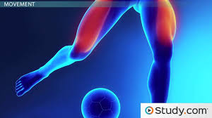 Which Cell Helps In Movement Of Bones Skeletal System And Muscular System Video U0026 Lesson Transcript