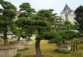 evergreen tree pinus thunbergii seeds 200pcs family pinaceae