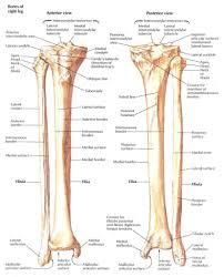 Anatomy Of Tibia And Fibula Gallery Learn Human Anatomy Image