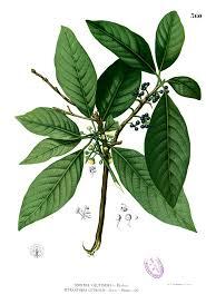lauraceae wikipedia