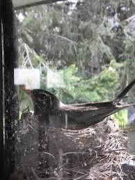 nest motion sensor light a robin built a birds nest on top of a motion sensor light on my
