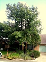 all about monterrey oaks