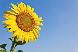 sunflower pictures blooming sunflower in the blue sky background photograph by
