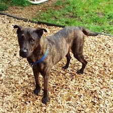 belgian sheepdog on petfinder adopt kale adopted on labrador retriever labradors and adoption