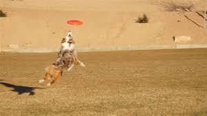 triple r australian shepherds mercyme mini u0026 toy aussies