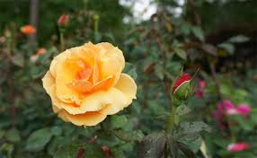 what type of rose should i plant