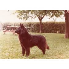 belgian sheepdog for sale in texas mawrmyth belgians groenendael breeder in houston texas