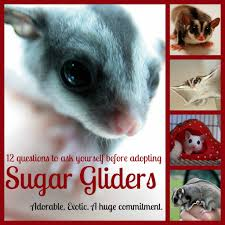 Gliders For Sale 12 Questions To Ask Yourself Before Getting A Sugar Glider