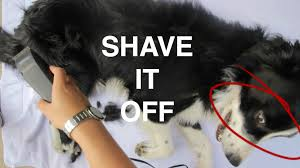 shaving a australian shepherd shaving my dogs hair youtube