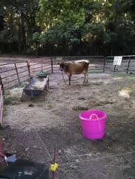 Backyard Dairy Cow Friday U0027s On The Farm An Update On Our Family Milk Cow Farm
