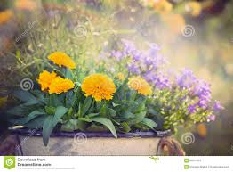yellow and purple garden flowers bunch on summer or autumn nature