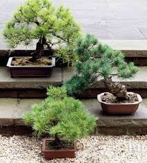 how to plant a bonsai tree