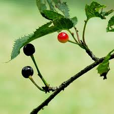 Online Fruit Trees For Sale - bird cherry trees for sale online at trees direct