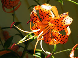 tiger flower 6964420