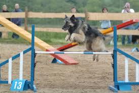belgian sheepdog apartment belgian tervuren temperament u0026 personality