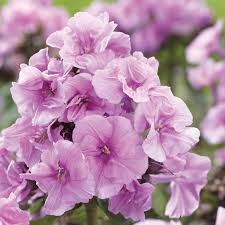 phlox flower zenobia phlox flowers and bulbs veseys