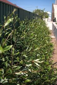 australian native plant nursery sydney the 25 best native australians ideas on pinterest australian