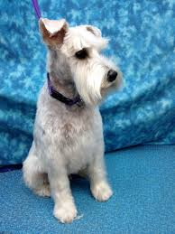 schnauzer hair cut step by step grooming needs of the miniature schnauzer bbird s groomblog
