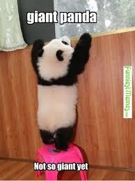 Funny Panda Memes - funniest memes giant panda not so giant funniest memes