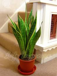 in laws house good luck snake plant mother in laws tongue evergreen indoor good