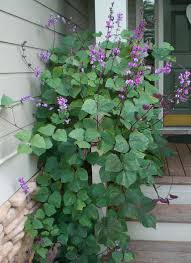 purple hyacinth bean vine ornamental flower seeds started my seeds