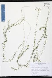 native plants of south carolina hydrilla verticillata species page isb atlas of florida plants