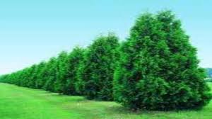 thuja green trees for sale wholesale at tn nurseries