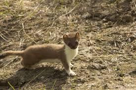 ferrets skunks free images public domain images