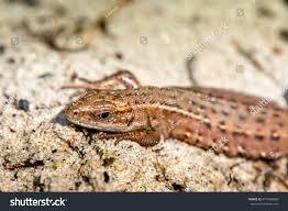 Seeking Lizard Macro Lizard Early Nature Stock Photo 470406860