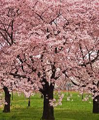 kwanzan flowering cherry tree ison s nursery vineyard