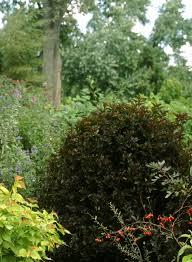 ninebarks thrive in midwest gardens ohio gardener enewsletter