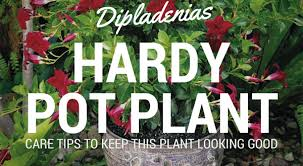 dipladenias hardy flowering plants good for pots about the