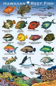 hawaiian reef fish study nature pinterest hawaii fish and ocean