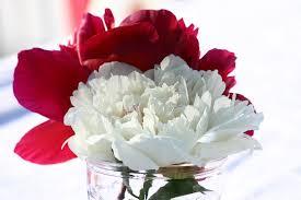 peonies flower free photo peonies flower blossom peony free image on