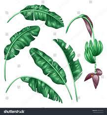 Foliage Flower - set stylized banana leaves decorative image stock vector 403814164
