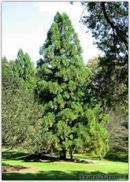 deer resistant trees shrubs and deer deer evergreen plants