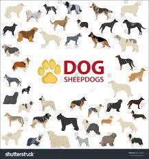 belgian sheepdog australia dog sheepdogs breeds fci dog cattle stock vector 354774644