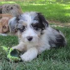 commercials with australian shepherds aussiedoodle standard poodles australian shepherd and poodle