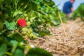 Strawberry Garden Beds Strawberry Bed Images U0026 Stock Pictures Royalty Free Strawberry