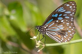 the blue tiger butterfly tirumala hamata macrokosm