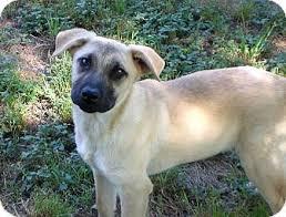 affenpinscher puppies for sale in texas hobbs adopted puppy austin tx shepherd unknown type black