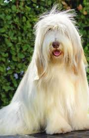 bearded collie brown bearded collie dog breed information pictures characteristics