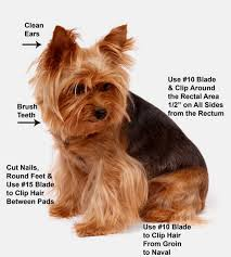 yorkie hair cut chart yorkie grooming dvd four videos how to groom yorkie yorkies