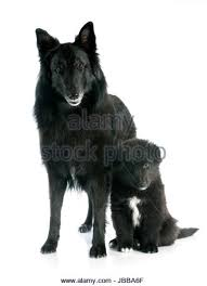 belgian sheepdog groenendael breeder belgian sheepdog stock photos u0026 belgian sheepdog stock images alamy