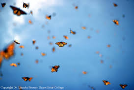 butterflies in flight at the monarch sanctuaries in mexico
