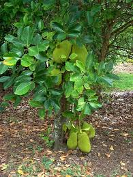 Tropical Fruit Tree Nursery - jackfruit fruit tree nursery plants pinterest fruit trees