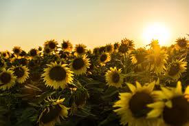foto wallpaper bunga matahari gambar pemandangan menanam langit bidang sinar matahari musim